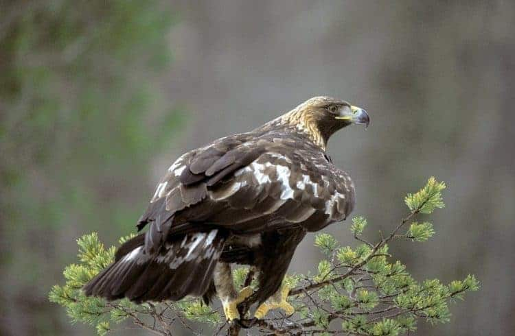 POLL: Should the Golden Eagle continue to be protected in Norway?