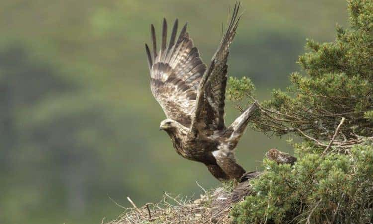 Eight tagged golden eagles disappear in Scottish Highlands