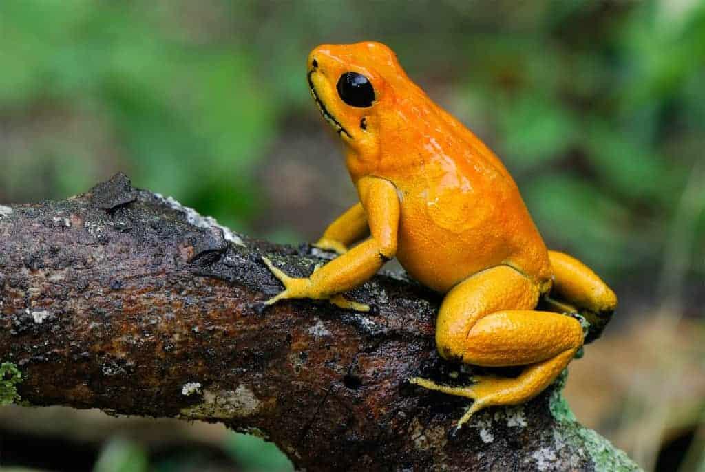 golden poison dart frog phyllobates terribilis cauca colombia