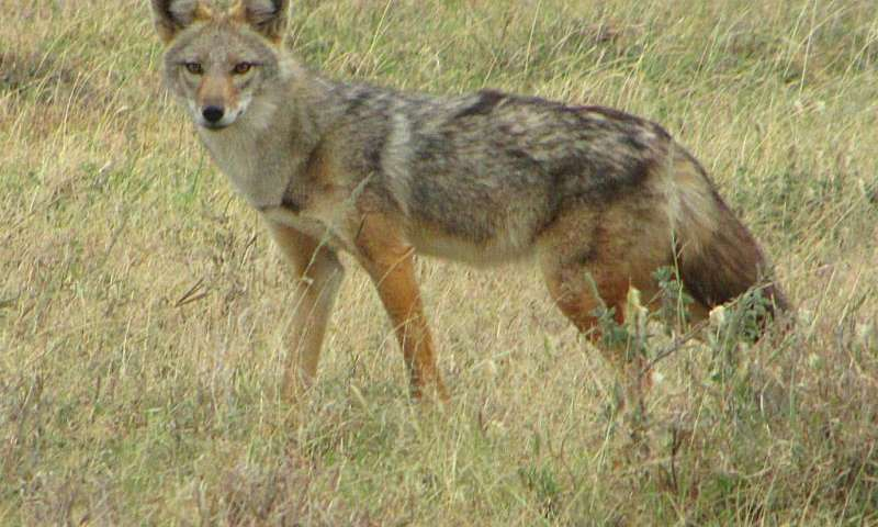 'Golden jackals' of East Africa are actually 'golden wolves'