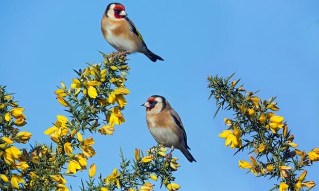 POLL: Should Malta be sanctioned for continuing to slaughter songbirds?