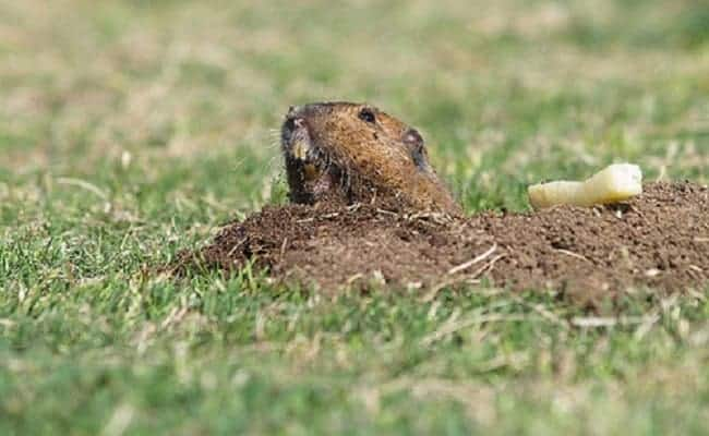 Taking Cue From 'Caddyshack,' Trump National Golf Club Shoots Gophers