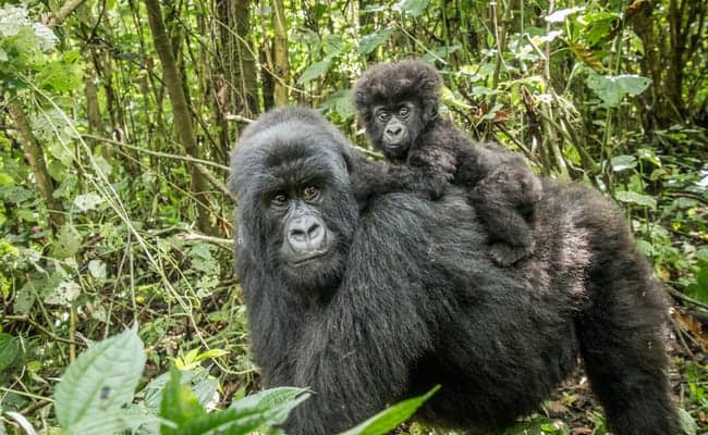 Congo Miners Poach At-Risk Animals Because They Have Nothing Else to Eat