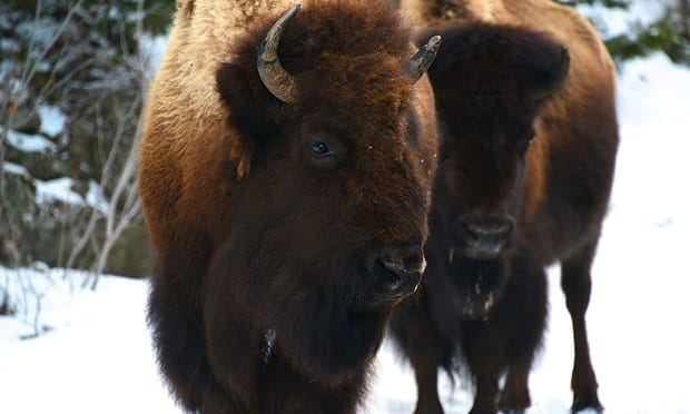 POLL: Should the Grand Canyon Bison be culled?