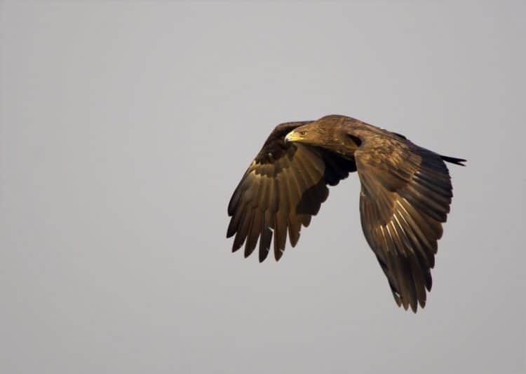 Bulldozers over Almany threaten the Greater Spotted Eagle