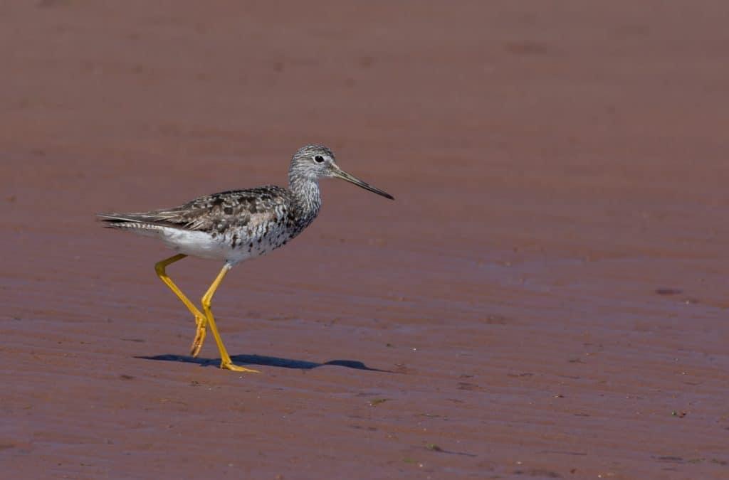 Prince Edward Island Birding Taster