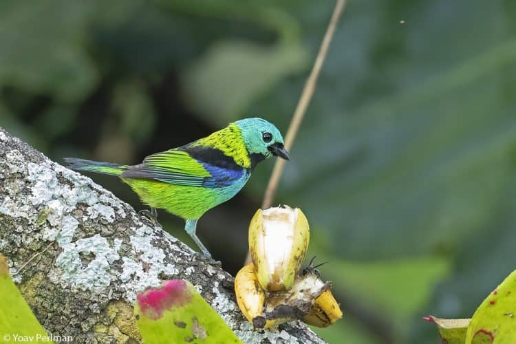 Brazil Ubatuba Day #7 – Tanagers Galore