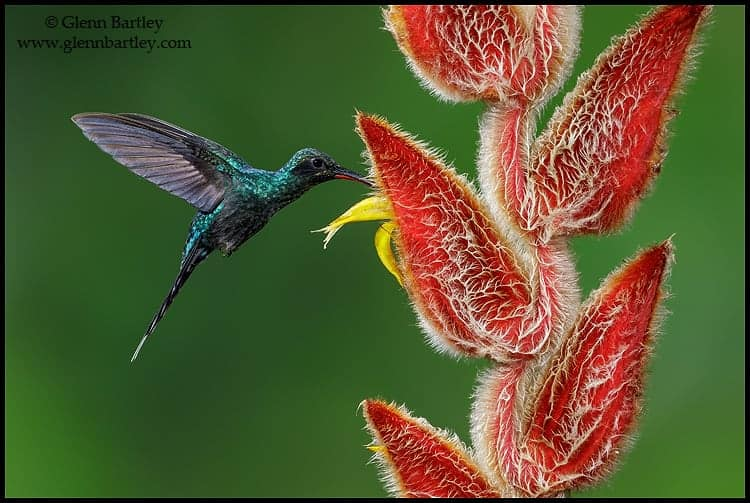 Green Hermit (Phaethornis guy) flying and feeding at a flower in Costa Rica - Photo by Glenn Bartley