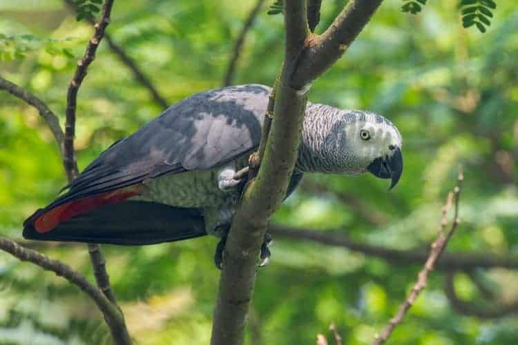 Ghana's Grey Parrot population may soon cease to exist