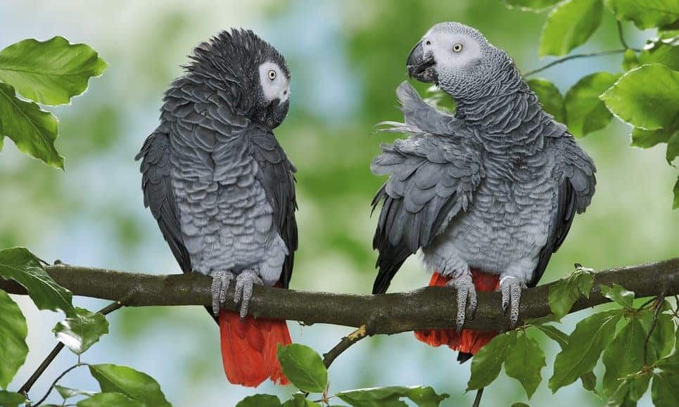 The grey parrot and the race against Africa's wildlife extinction