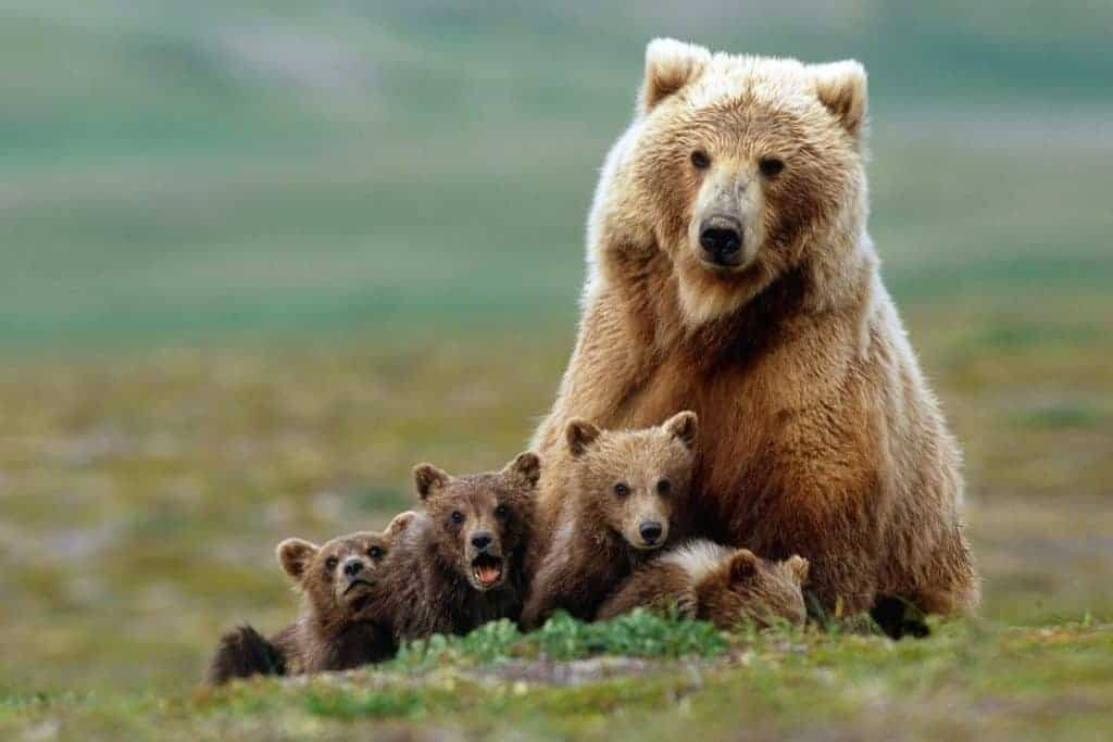 POLL: Should the Grizzly Bear be removed from the Endangered Species List?