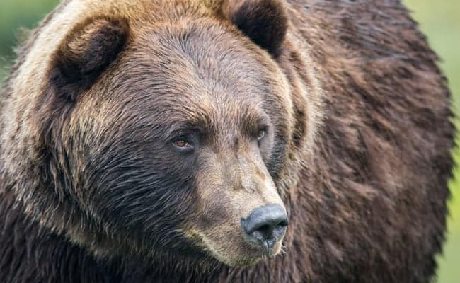 POLL: Should Yellowstone's Iconic Grizzly Bears be Stripped of Federal Protection?