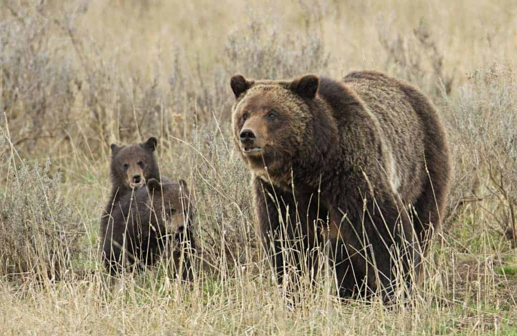 Yellowstone's Grizzly Bears Should Not Be Hunted