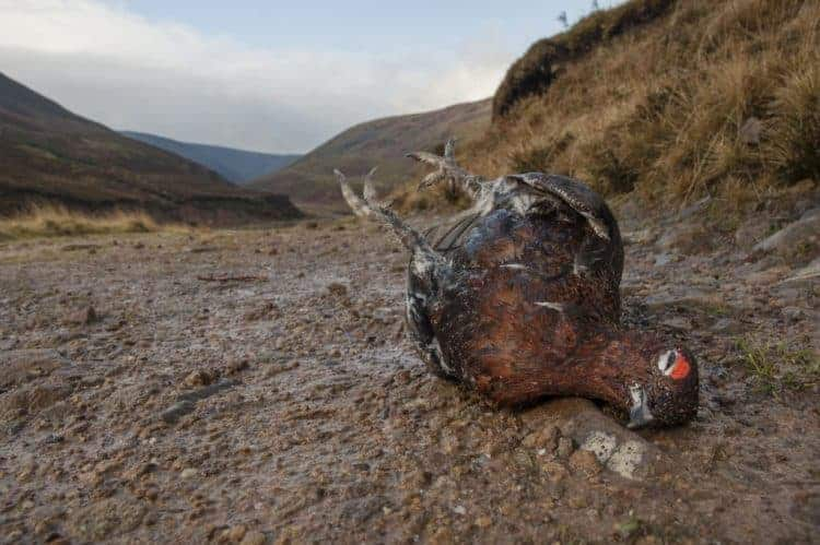 "POLL: Should ""Driven Grouse Shooting"" be banned?"