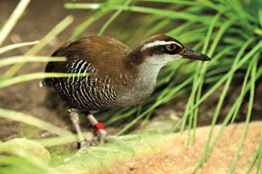 Is this Guam bird coming back from extinction in the wild?