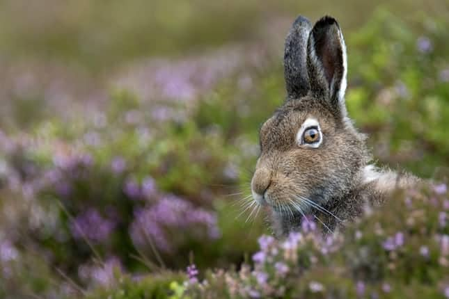 Scotland's mountain hare population is at just 1% of 1950's level