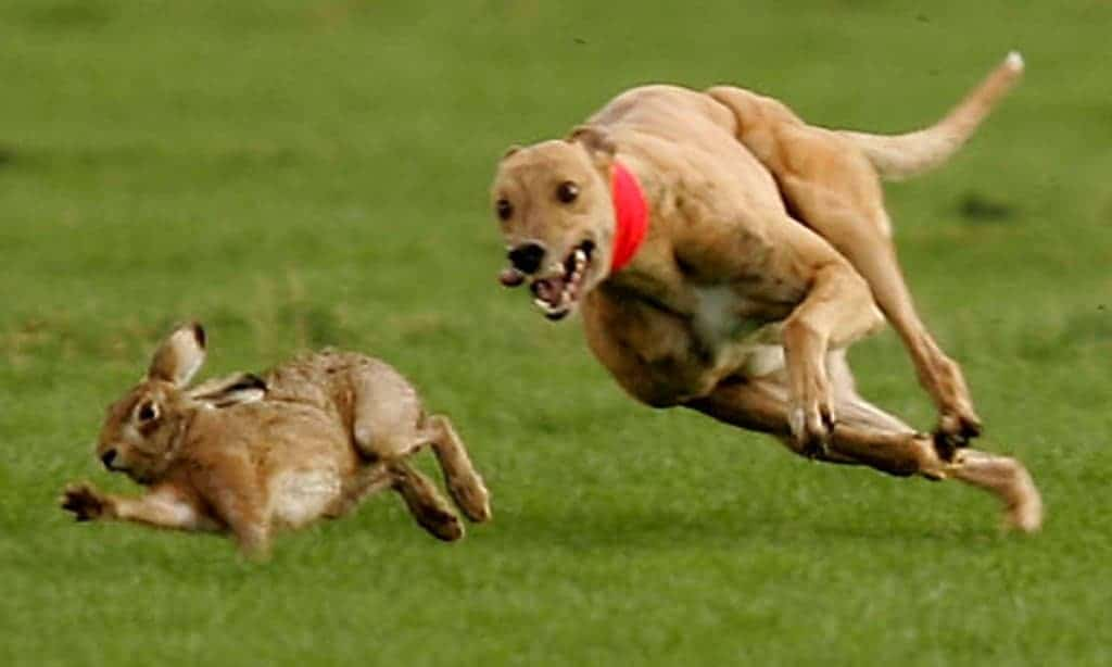 Northern Ireland has voted to ban hare coursing, making it the last part of the UK to do so. Photograph: Jon Super/AP