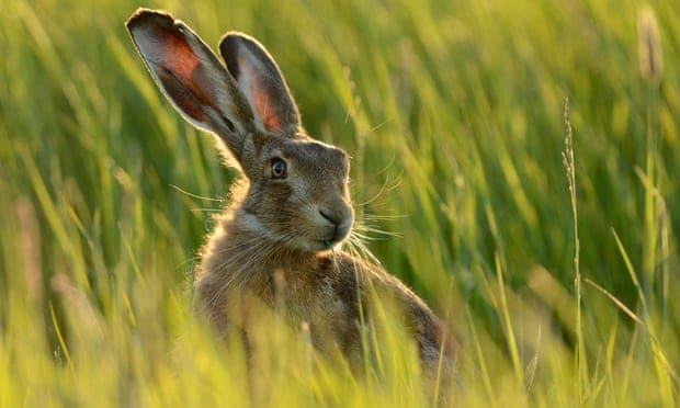 POLL: Should the shooting of hares in breeding season be banned?
