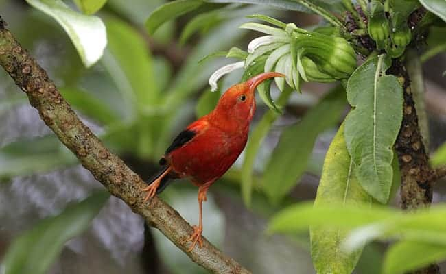 Iconic Hawaiian Bird Finally Gets Much Needed Protection