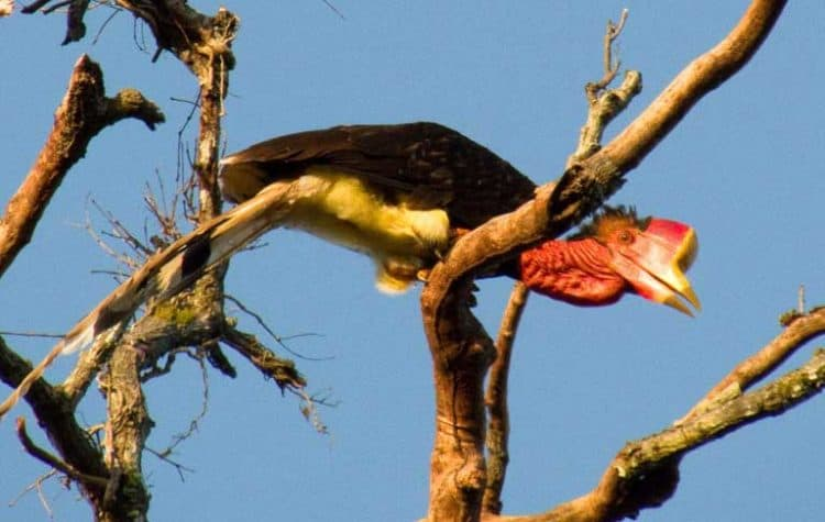 One-two punch of habitat loss, capture hammers Southeast Asian birds