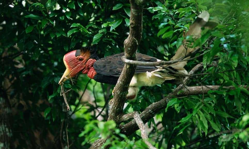 POLL: Should the illegal trade in hornbill ivory be stopped?