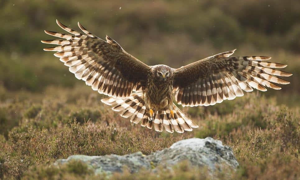 Long-awaited plan to save England's hen harrier gets green light