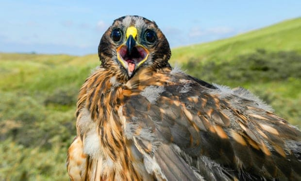 New chicks raise hope for hen harrier survival … but shooters take aim