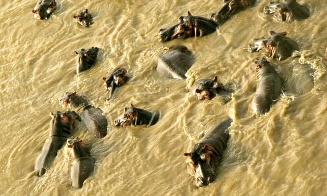 How many hippos are too many? Proposed cull raises questions