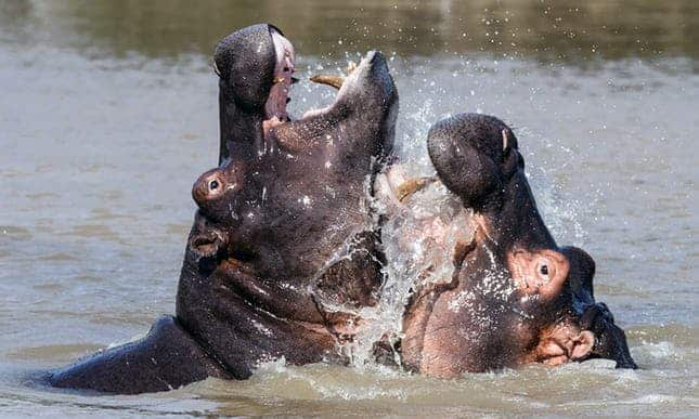 Namibia says anthrax could be to blame for deaths of more than 100 hippos