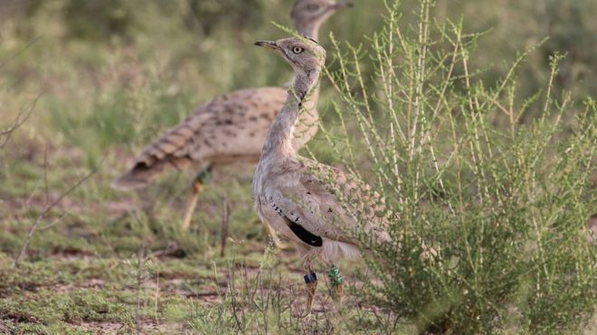 "POLL: Should houbara bustard ""royal hunting trips"" be stopped?"