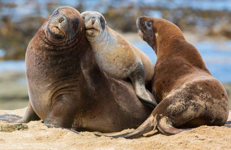 Endangered sea lions in the Catlins, New Zealand. Sabine Bernert
