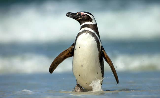Chile Rejects Mining Project to Protect Humboldt Penguins