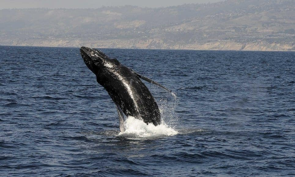 POLL: Should humpback whales be taken off the endangered species list?