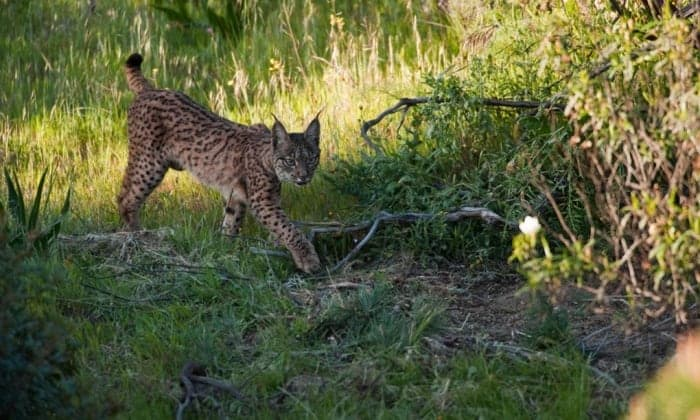 Iberian lynx: back from the brink of extinction … and run down by cars