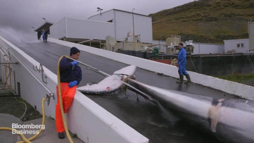 In Iceland You Can Watch Rare Whales by Day and Eat Whales (Rare) by Night
