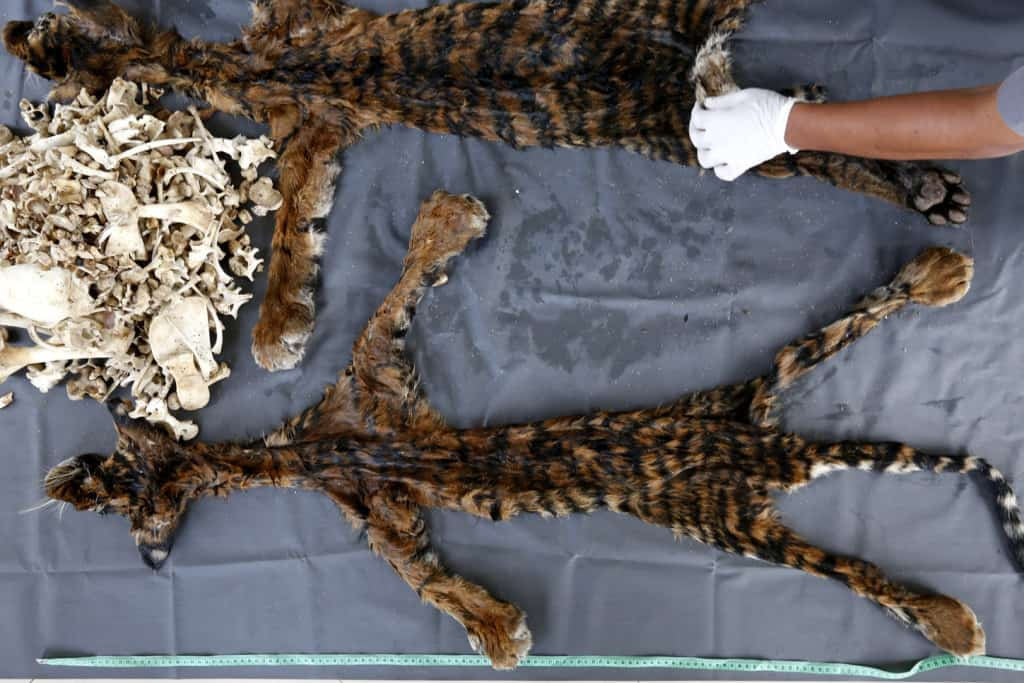 Tiger fur and bones recently seized in Indonesia. Hotli Simanjuntak / EPA