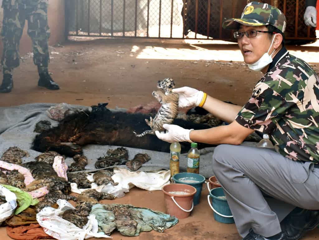 A Thai wildlife official displays carcasses of dead tiger cubs found during a raid on June 1. EPA