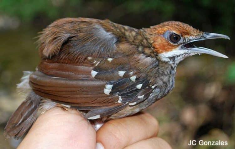 Sierra Madre Ground-Warbler – discovery of new bird species