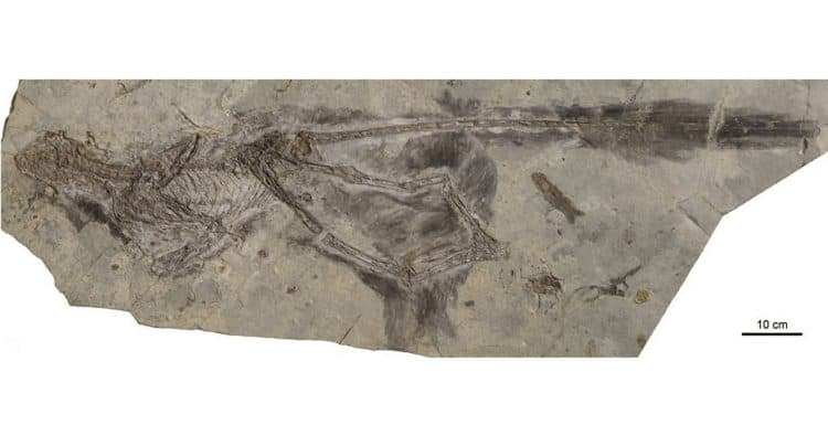 Changyuraptor yangi. Image credit: L. Chiappe / Natural History Museum of Los Angeles County.