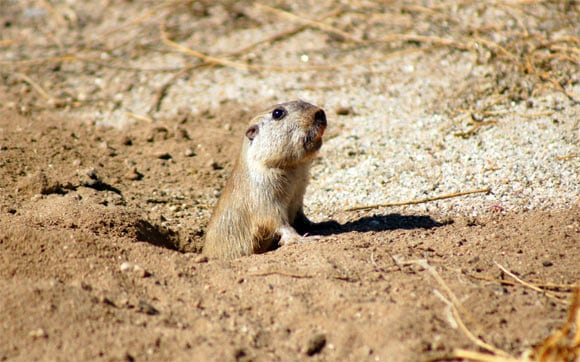 Tuco-Tuco: Four New Species of Gopher-Like Mammal Discovered in Bolivia