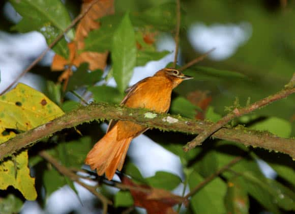 Listen to New Bird Species Discovered in Brazil: Cryptic Treehunter