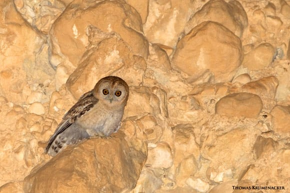 Desert Tawny Owl: New Species of Bird Discovered