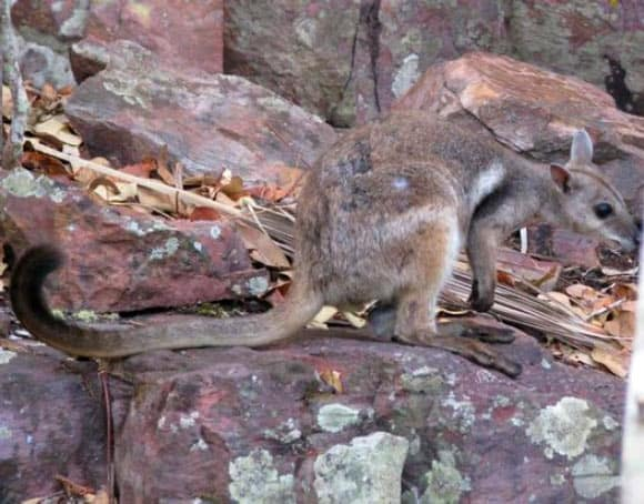 New Species of Rock-Wallaby Discovered in Australia