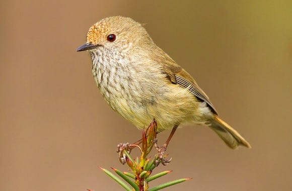 How does the Brown Thornbill Scare off Predators?