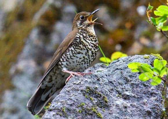 Himalayan Forest Thrush: Scientists Discover New Species of Bird