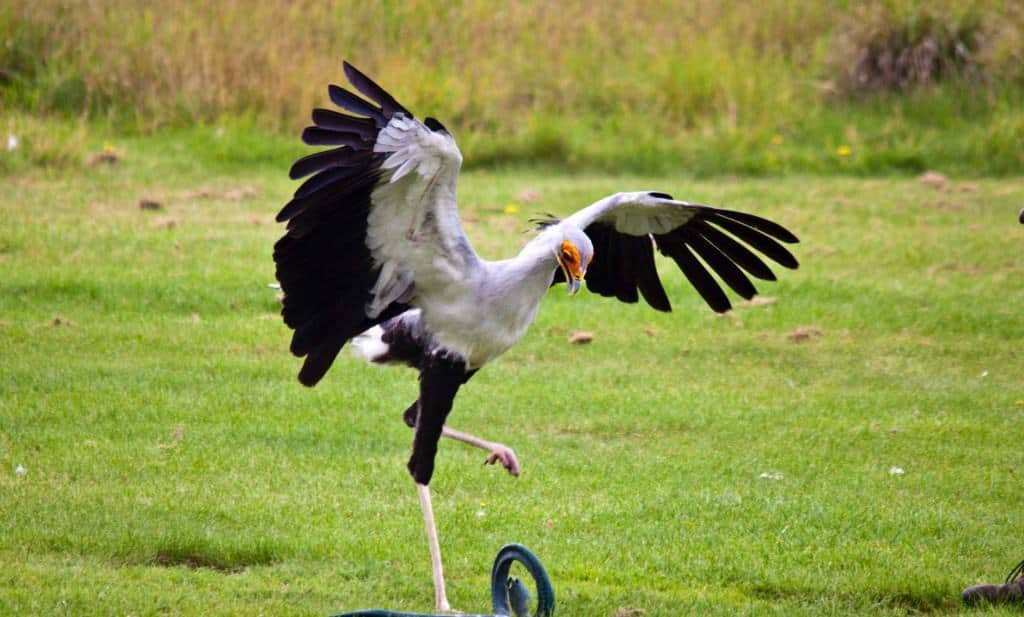 Video: Secretary birds stamp on their prey with great force