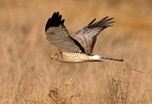 Hen Harrier is Actually Two Different Species