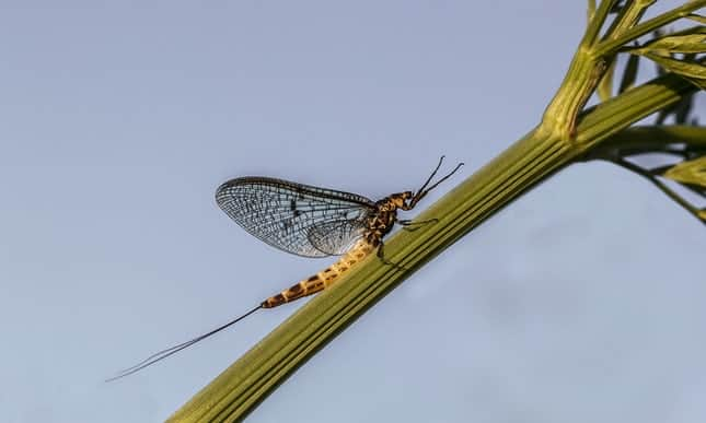Insect declines: new alarm over mayfly is 'tip of iceberg', warn experts