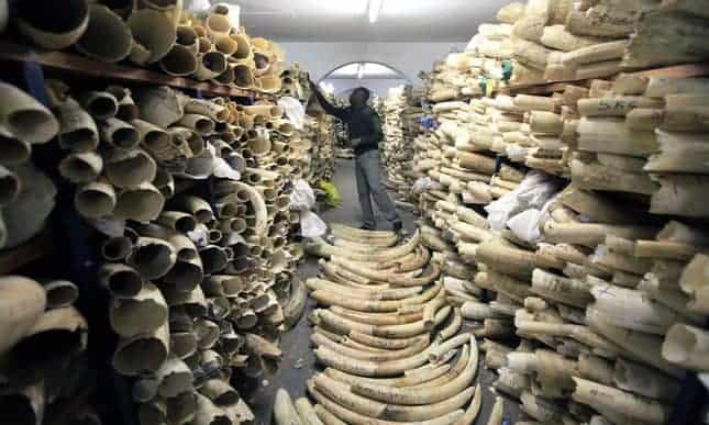 POLL: Should Zimbabwe and Namibia be allowed to sell their ivory stockpiles?