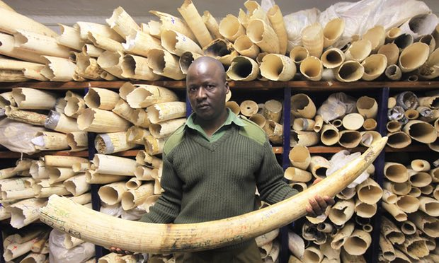 POLL: Does destroying ivory save elephants?